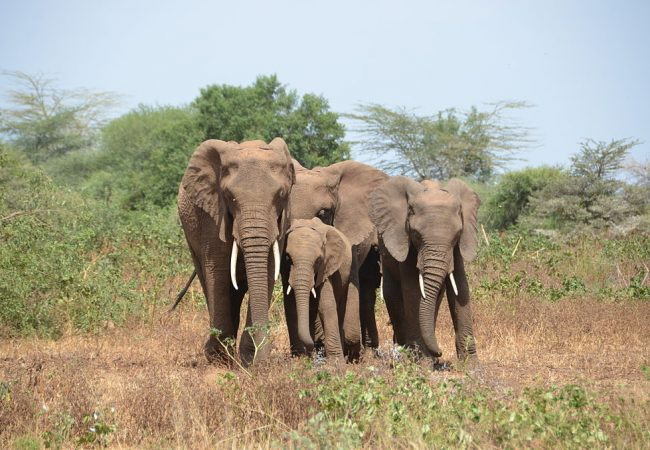 Elephants Lake Manyara National Park